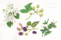 Gloria-Goguen-Black-Raspberries-Life-Cycle-colored-pencil-19-5_8_-x-25-1_2_-2019-700-scaled