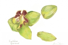 Gloria-Goguen-Cymbidium-Orchid-Tower-Hill-Botanic-Garden-Boylston-Massachusetts-colored-pencil-15-3_4_-x-19-5_8_-2018-350-scaled