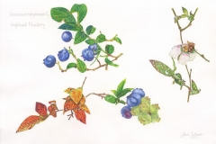 Gloria-Goguen-High-Bush-Blueberries-Life-Cycle-colored-pencil-19-5_8_-x-25-1_2_-2019-700-scaled