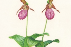 Gloria-Goguen-Lady-Slippers-Woodlands-Gardner-Massachusetts-colored-pencil-19-3_4_-x-15-3_4_-2019-350-scaled