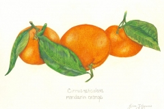 Gloria-Goguen-Mandarins-Patel_s-Shrewsbury-Massachusetts-colored-pencil-19-3_4_-x-15-3_4_-2020-350-scaled