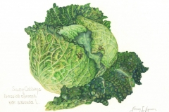 Gloria-Goguen-Savoy-Cabbage-Berberian_s-Farm-Northborough-Massachusetts-colored-pencil-19-3_4_-x-15-3_4_-2019-400-scaled