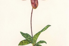 Gloria-Goguen-Venus-Slipper-Orchid-Louis-Ginter-Botanical-Garden-Richmond-Virginia-colored-pencil-25-1_2_-x-19-5_8_-2019-675-scaled